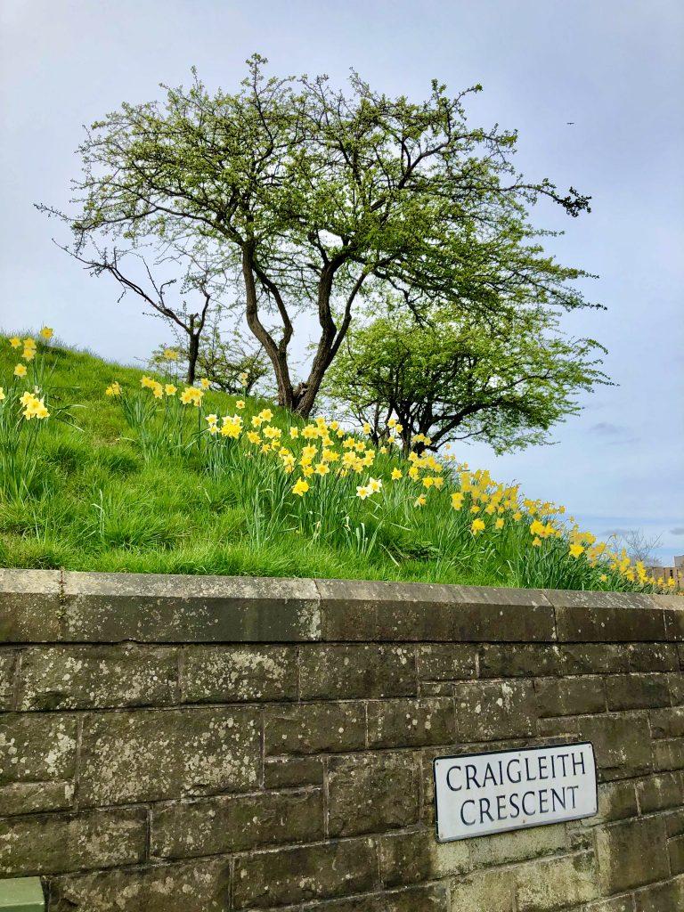 Daffodils - Craigleith